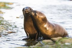 Sea Lion baby. Peninsula de Valdes royalty free stock images