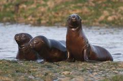 Sea Lion baby. Peninsula de Valdes.Argentina stock images