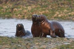 Sea Lion baby. Peninsula de Valdes stock photos