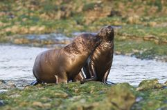 Sea Lion baby. Peninsula de Valdes .Patagonia Argentina royalty free stock photo