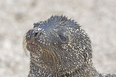 Sea Lion Baby on the Beach Stock Photography