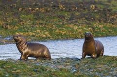 Sea Lion baby. Patagonia Argentina.Peninsula de Valdes royalty free stock images