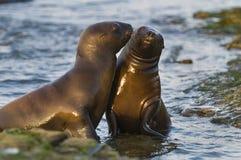 Sea Lion baby. Peninsula de Valdes royalty free stock photo