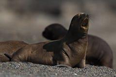 Sea Lion baby. Peninsula de Valdes.Argentina royalty free stock image