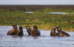 Sea Lion baby. Peninsula de Valdes stock images