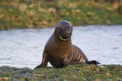 Sea Lion baby. Peninsula de Valdes royalty free stock photos