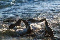 Sea Lion baby. Peninsula de Valdes stock photography