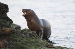 Sea Lion baby. Peninsula de Valdes.Argentina stock photo