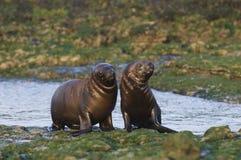 Sea Lion baby. Peninsula de Valdes Argentina stock photo