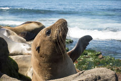 Sea Lion baby seal - puppy on the beach, La Jolla, California. Stock Photos
