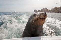 Sea Lion on the back of charter fishing boat begging for bait fish in Cabo San Lucas Baja Mexico. BCS royalty free stock photography