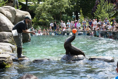 Sea Lion Balancing A Ball Central Park Zoo NYC Stock Image