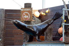 Sea Lion balancing act. Stock Photography