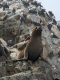 Sea Lion on  Ballestas Islands Royalty Free Stock Image