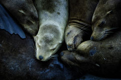 Sea lion banquet. Sea lions huddle together for a nap as they sleep along the pier in Santa Cruz California Royalty Free Stock Photo