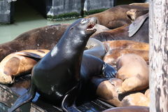 Sea lion barking. Pier 39 San Francisco sea lions barking and sunbathing Stock Images