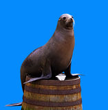 Sea lion on a barrel isolated om blue Royalty Free Stock Photos