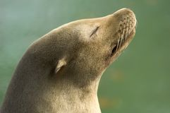 Sea Lion Basking. Seal basking in the sunshine on a warm summer day Stock Image