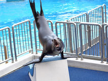 Sea lion basking Stock Images
