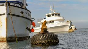 Sea lion basking on a mooring buoy in a harbor stock photo