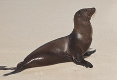 Sea Lion on Beach Stock Image