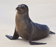 Sea Lion on Beach Stock Photos