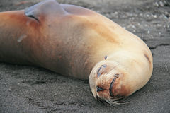 Sea Lion on a Beach Royalty Free Stock Images