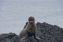 Sea Lion on a Beach Stock Photography