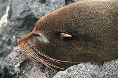 Sea Lion on a Beach Stock Photography