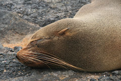Sea Lion on a Beach Royalty Free Stock Photography