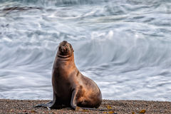 Sea lion on the beach blur move effect Royalty Free Stock Photography
