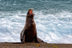 Sea lion on the beach blur move effect Stock Photography
