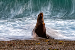 Sea lion on the beach blur move effect Stock Image