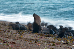 Sea lion on the beach blur move effect Royalty Free Stock Images