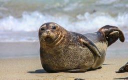 Sea Lion on The Beach. A California sea lion comes ashore at the beach in La Jolla, California stock photos