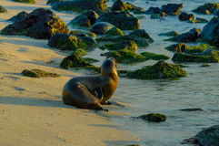 Sea lion on the beach in galapagos islands Royalty Free Stock Photos