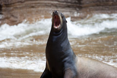 A sea lion on the beach Royalty Free Stock Images