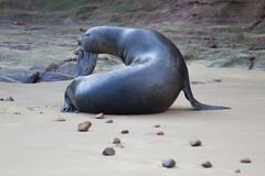 A sea lion on the beach Royalty Free Stock Photography
