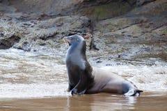 A sea lion on the beach Stock Photos