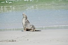 Sea lion on the beach. The sea lion is going into the water royalty free stock image