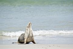 Sea lion on the beach. The sea lion has just come out of the water and is resting on the sand stock photography