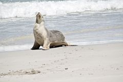 Sea lion on the beach. The sea lion has just come out of the water and is resting on the sand royalty free stock image
