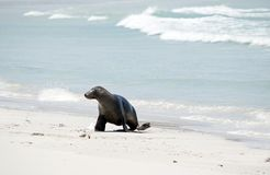 Sea lion on the beach. The sea lion has just come out of the water and is walking on the sand stock photo