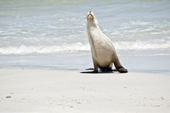 Sea lion on the beach. The sea lion has just come out of the water and is walking on the sand stock image