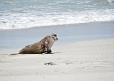 Sea lion on the beach. The sea lion has just come out of the water and is walking on the sand at Seal Bay, Australia stock photos