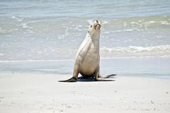 Sea lion on the beach. The sea lion has just come out of the water and is walking on the sand at Seal Bay, Australia royalty free stock image