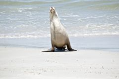 Sea lion on the beach. The sea lion has just come out of the water and is walking on the sand at Seal Bay, Australia stock images