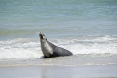 Sea lion on the beach. The sea lion has just ridden a wave to shore stock image