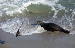 Sea Lion at the Beach of La Jolla California Royalty Free Stock Images