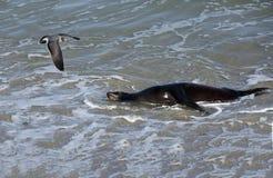 Sea Lion at the Beach of La Jolla California Royalty Free Stock Photo
